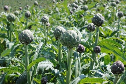 Atiso được trồng nhiều ở Đà lạt và Sa pa ở nước ta