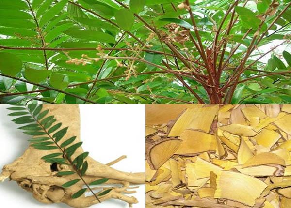 Cây mật nhân có tên dân gian là cây bà đẻ loại cây thuốc quý có khả năng trị nhiều bệnh