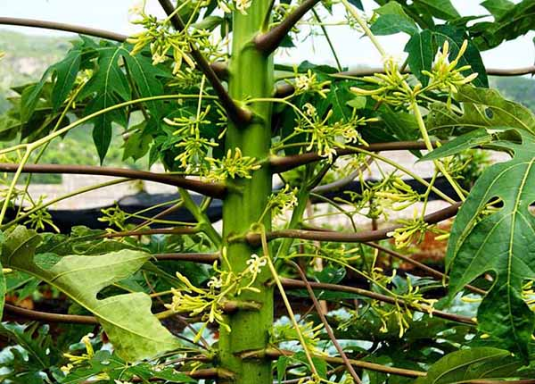 Hoa đu đủ đực chữa viêm họng tại nhà rất đơn giản