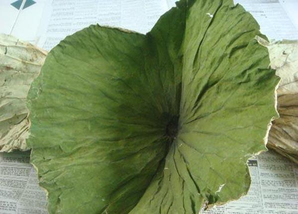 Lá sen là một loại lá quen thuộc với người dân Việt Nam
