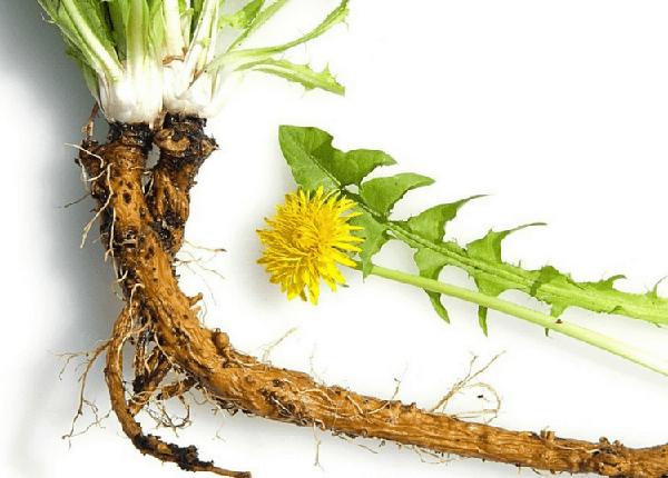 Rễ cây bồ công anh thường được sấy khô và tiêu thụ như một loại trà
