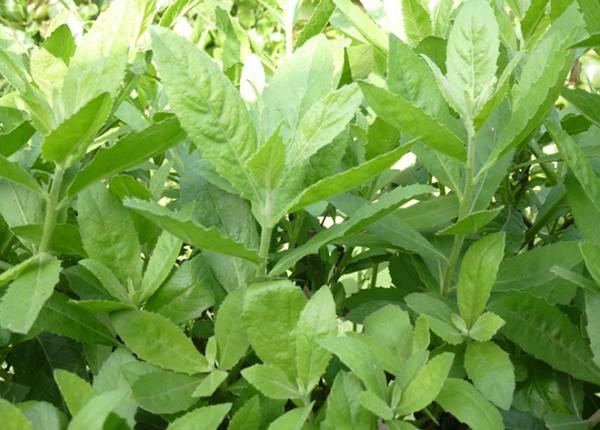 Tìm hiểu tổng quan về cây thuốc quý Cúc tần
