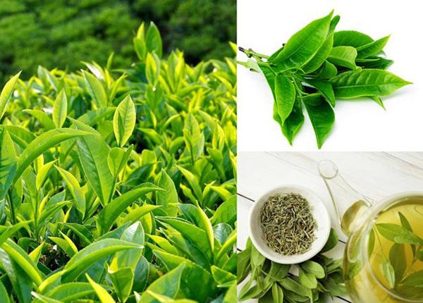 Trong lá trà xanh tươi chứa nhiều thành phần dinh dưỡng tốt cho sức khỏe