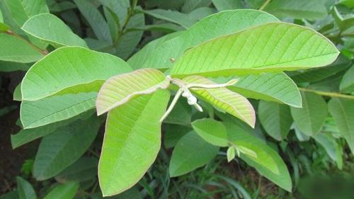 Công dụng bất ngờ của lá ổn trong chữa bệnh tiểu đường