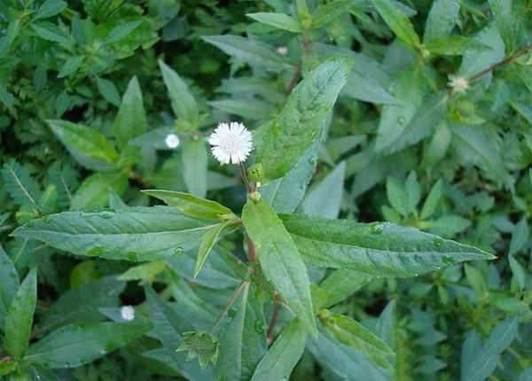 Cây cỏ mực thảo dược quý có rất nhiều công hiệu đối với sức khỏe con người